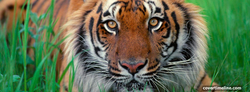 Tiger-timeline-cover - Facebook timeline covers maker