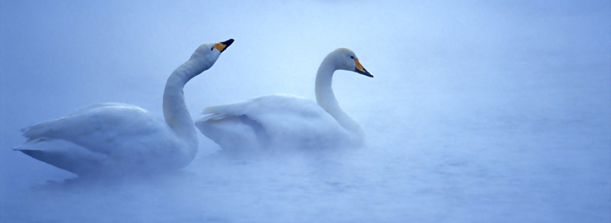 White Swans Timeline cover - Facebook timeline covers maker